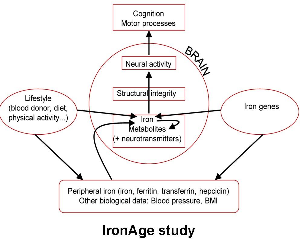 Diagram: IronAge study.